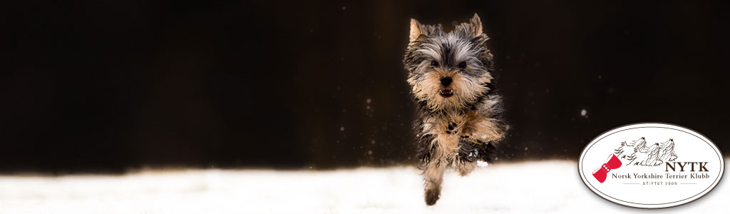 Norsk Yorkshire Terrier Klubb